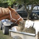Trinity Valley horses and goats